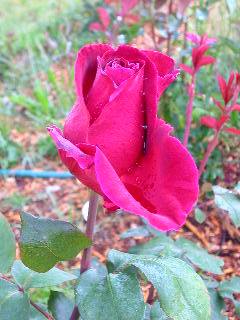 how to cut back rose of sharon